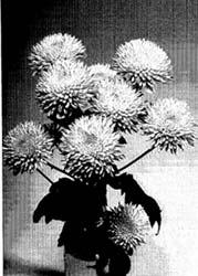 Plant Patent 5278